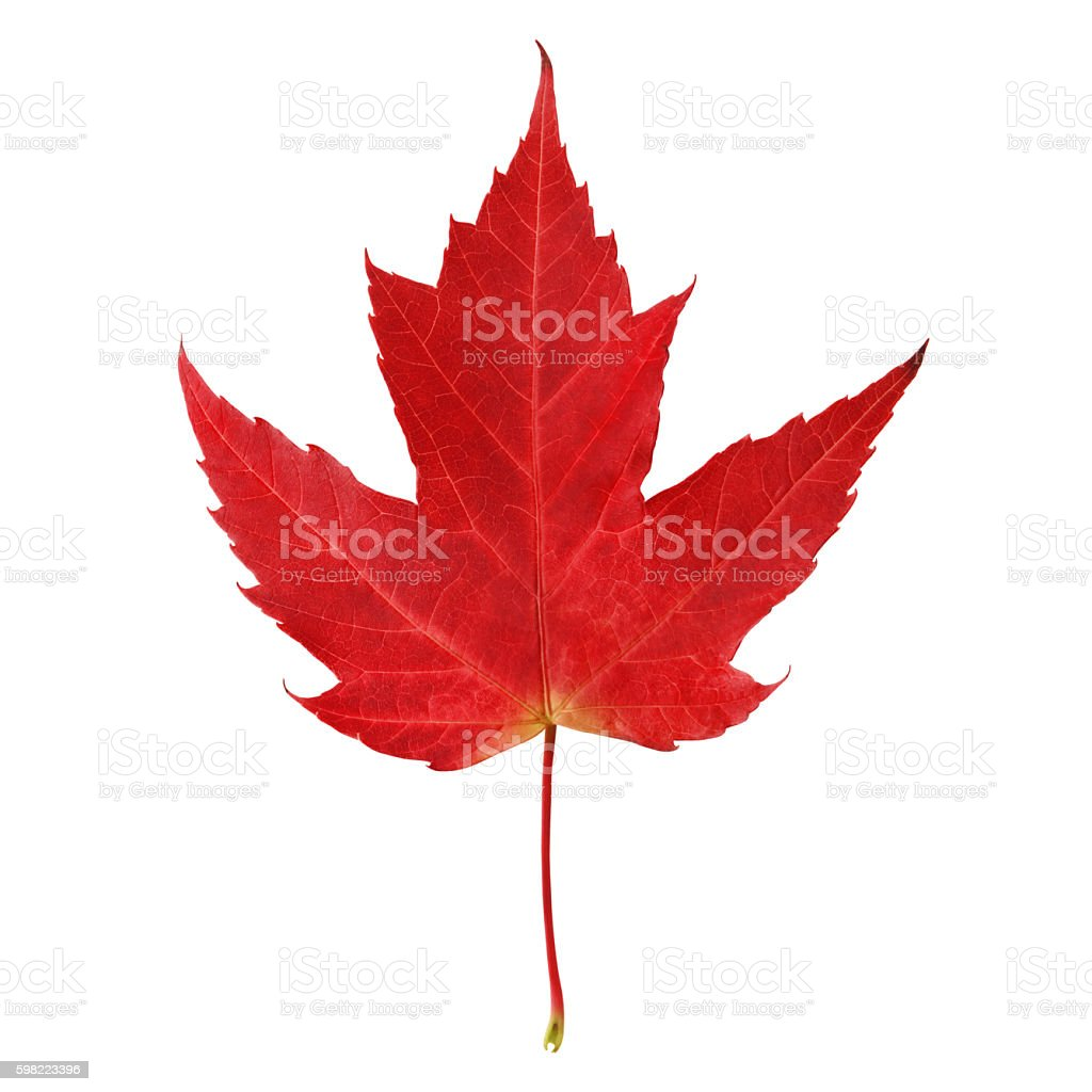 Red maple leaf (with path) stock photo