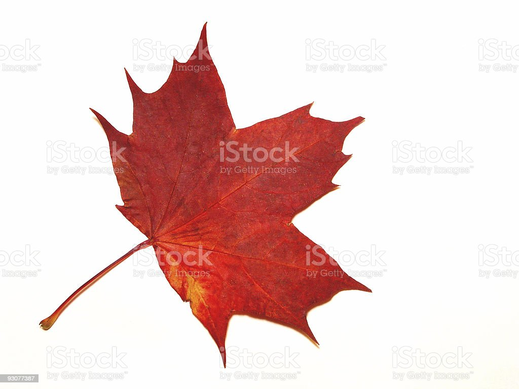 Red maple leaf with a white background royalty-free stock photo