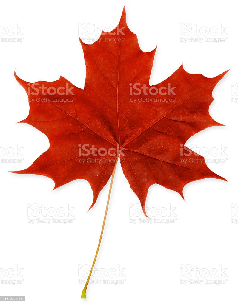 Red Maple Leaf XXXL royalty-free stock photo