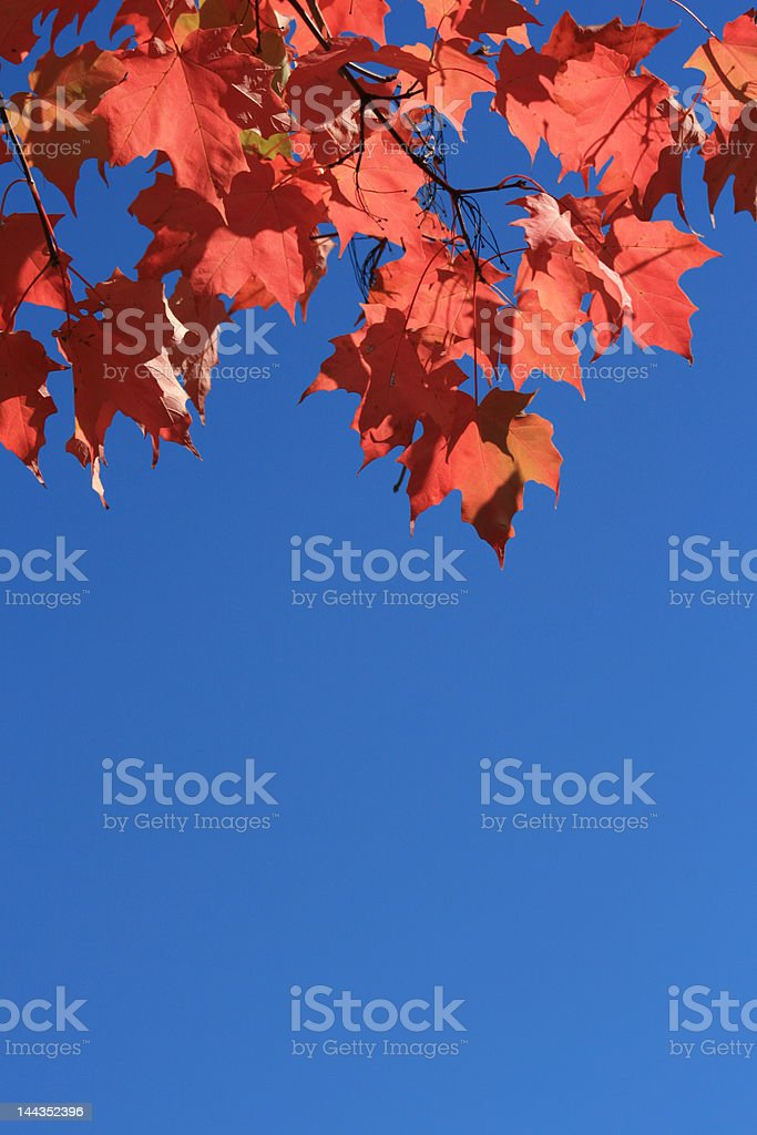 Red Maple Leaves Background royalty-free stock photo