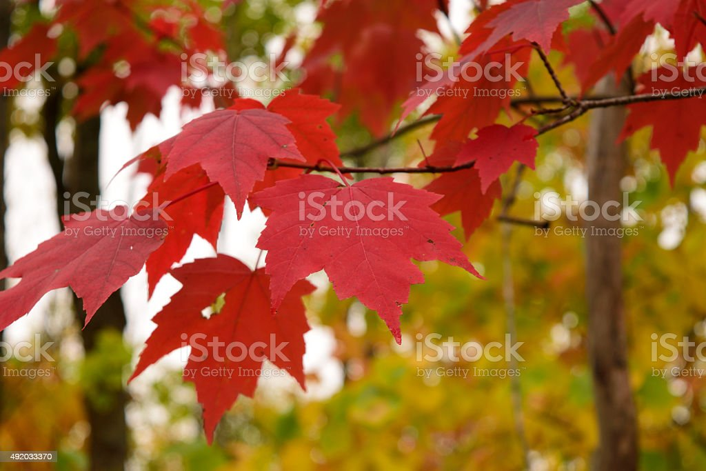Red Maple (Acer rubrum) Leaves in Fall stock photo