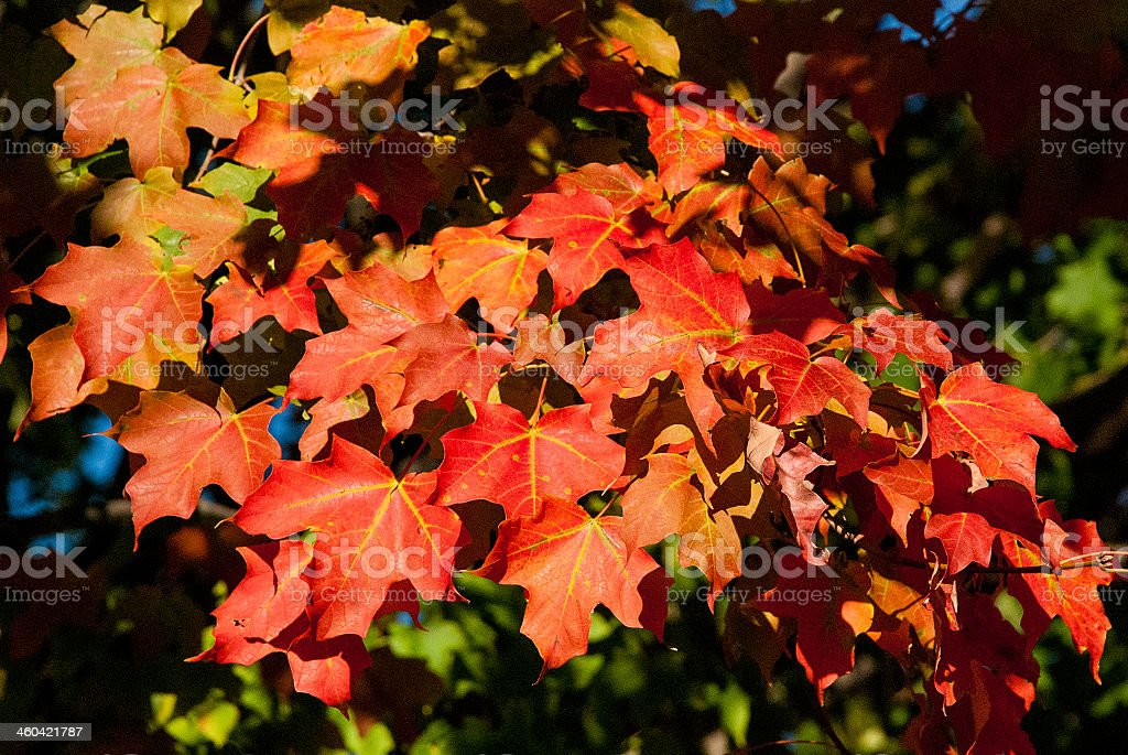 Red Maple Leaves near Avon Connecticut stock photo