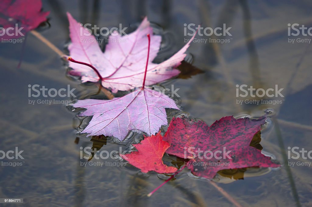 Red maple leaves on a water royalty-free stock photo