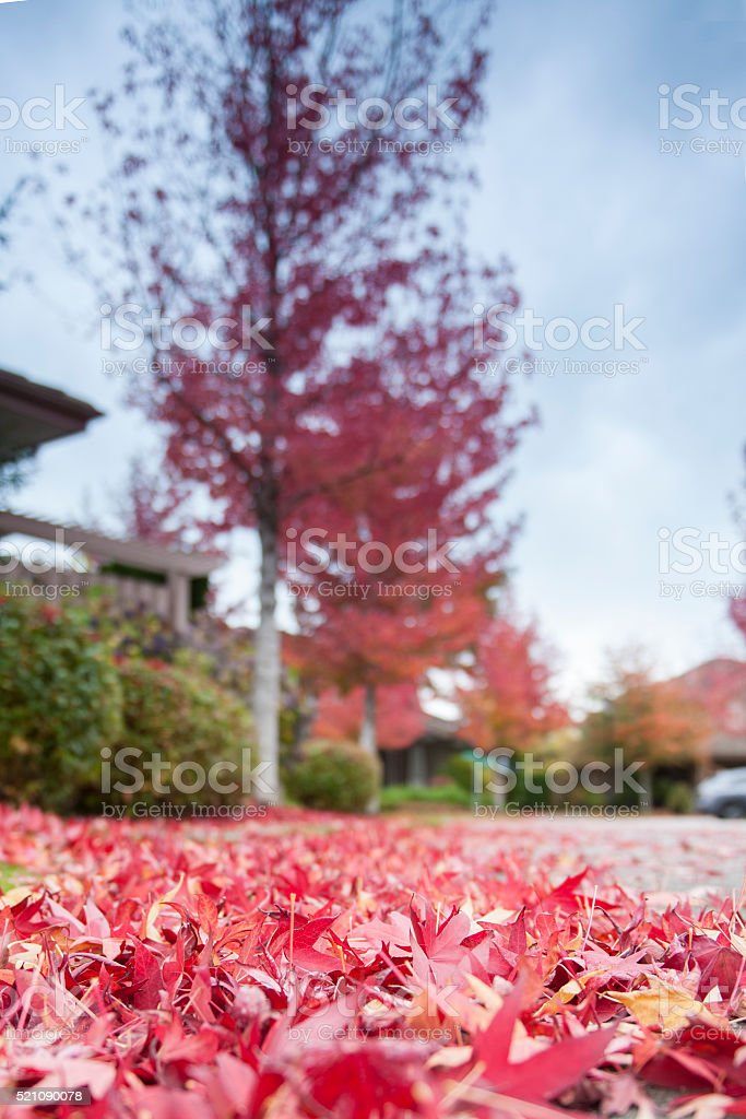 Red Maple leaves on driveway stock photo