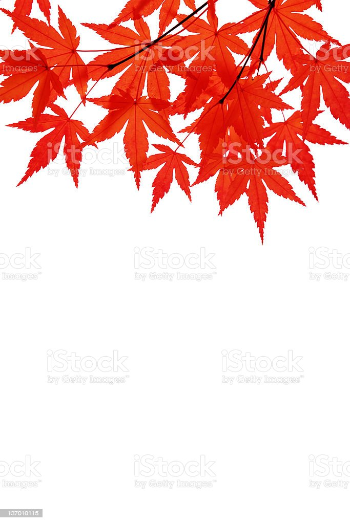 red maple leaves royalty-free stock photo