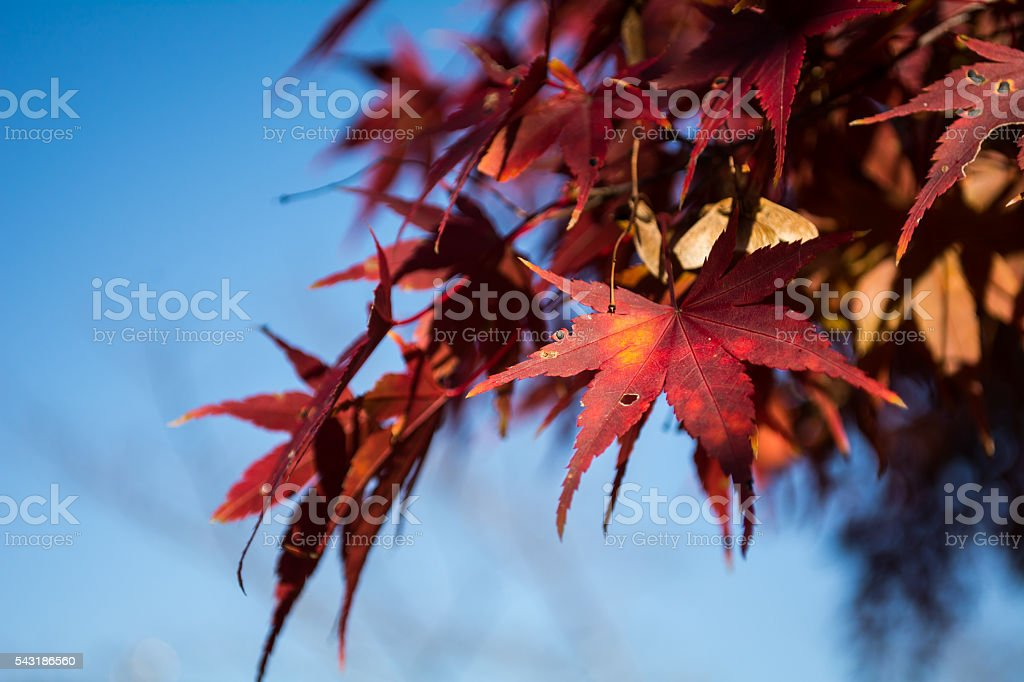 Red Maple on sky stock photo