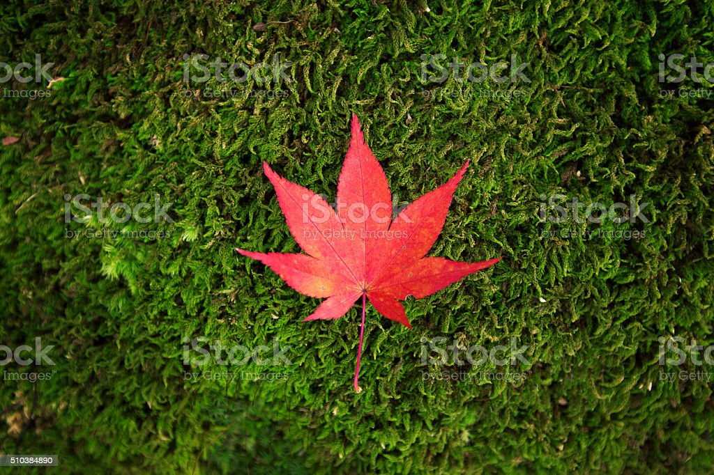 Red Maple on the fresh green mos stock photo