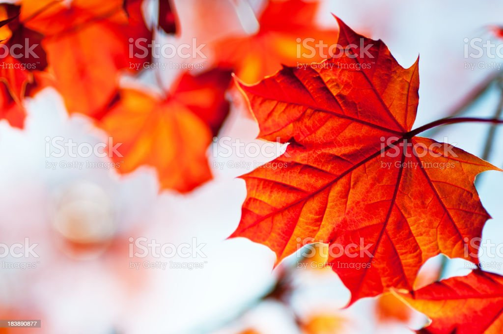 Red Maple royalty-free stock photo