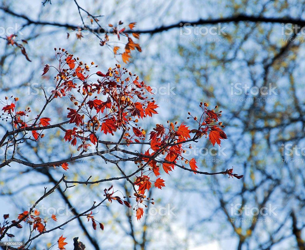 Ácer-vermelho foto de stock royalty-free