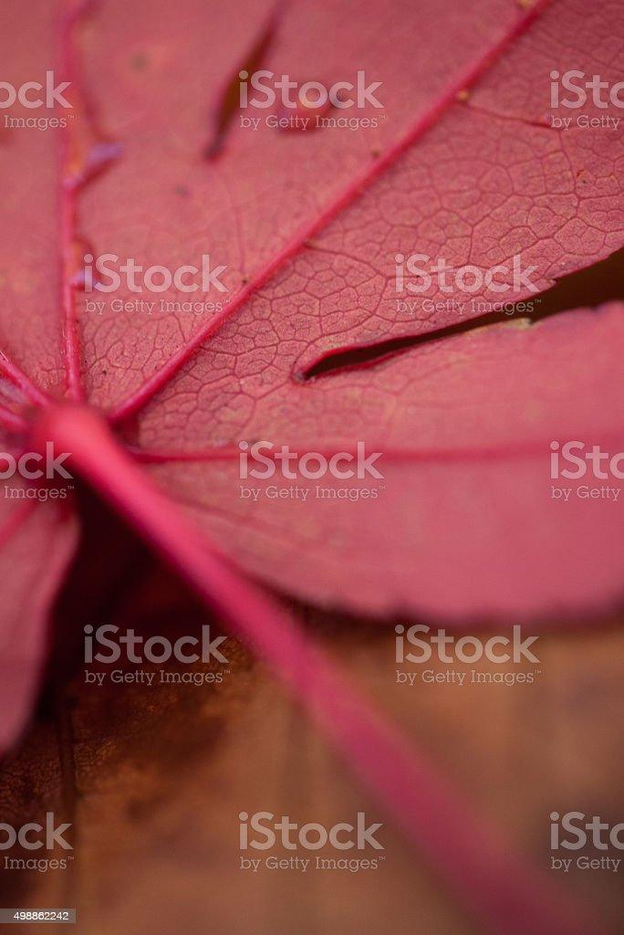 Red maple stock photo