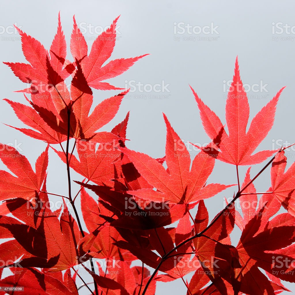Red Maple sky royalty-free stock photo