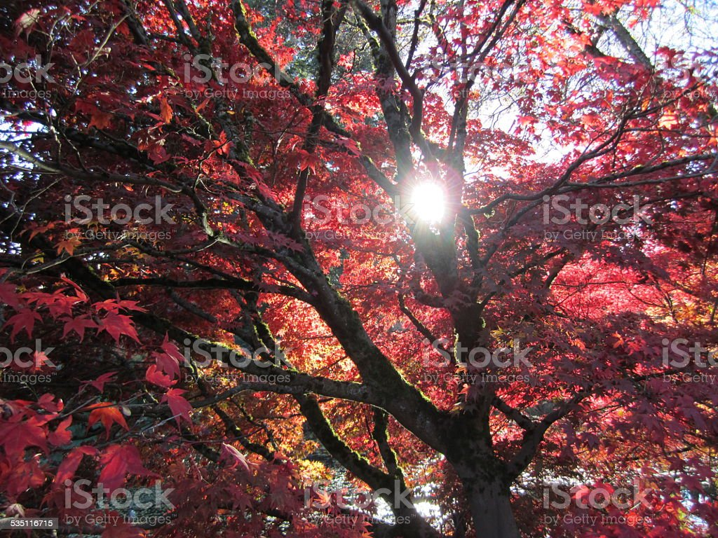 Red Maple Tree by a lake stock photo