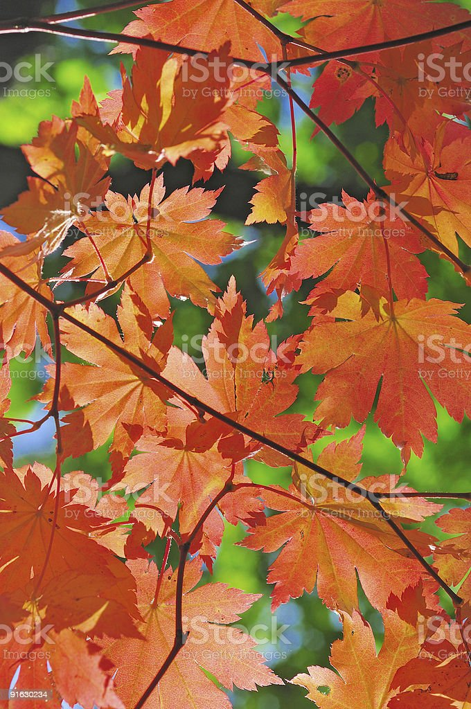 red maple tree foliage in the fall forest royalty-free stock photo