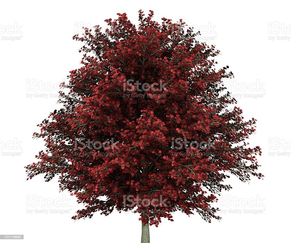 red maple tree isolated on white background stock photo