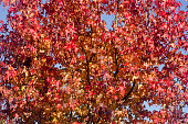 Red maple tree leaves, sunny autumn, clear sky.