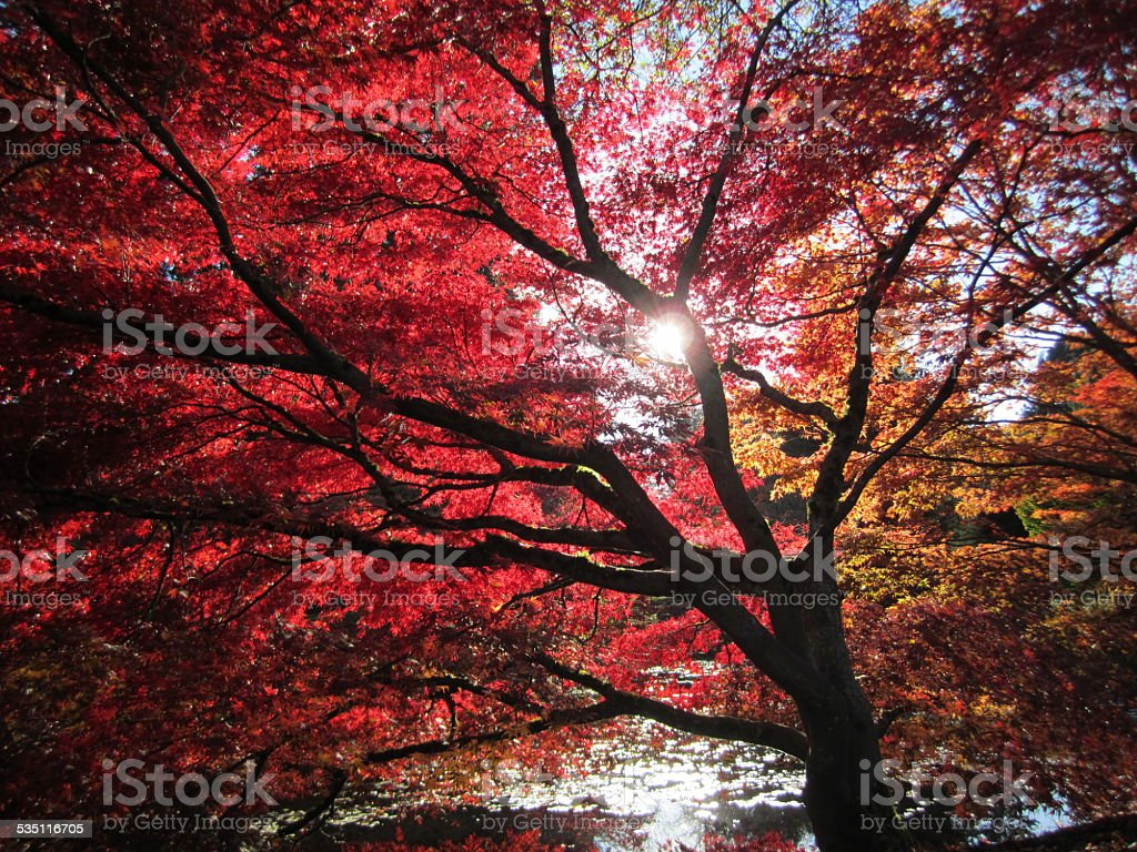 Red Maple Tree on a sunny day stock photo