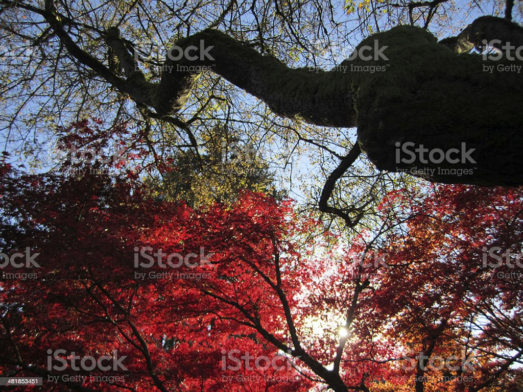 Red maple tree royalty-free stock photo
