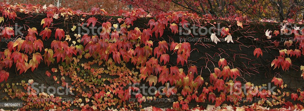 Red Maples royalty-free stock photo