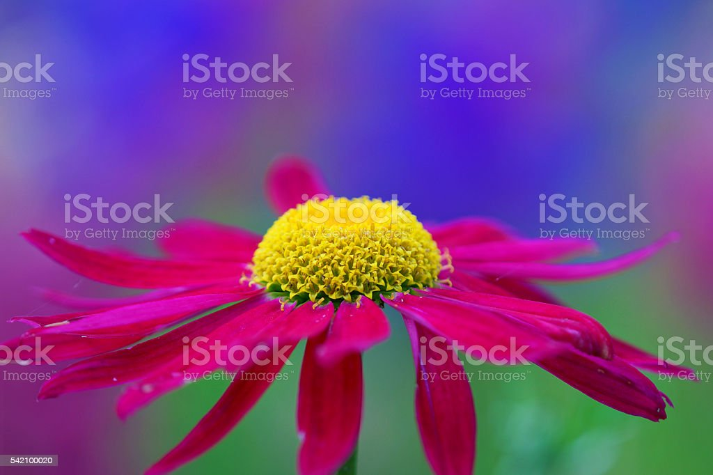 Red marguerite stock photo