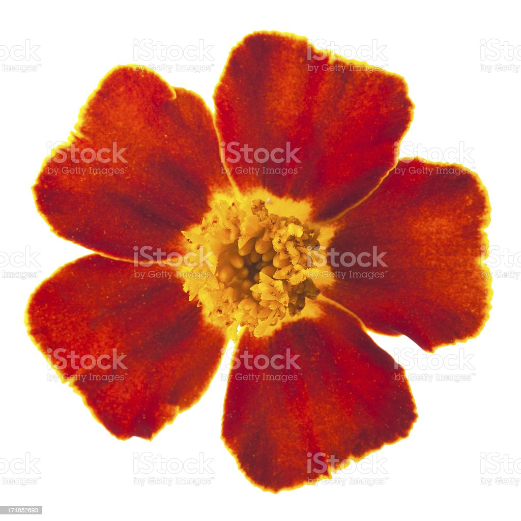 Red marigold single flower isolated on white royalty-free stock photo