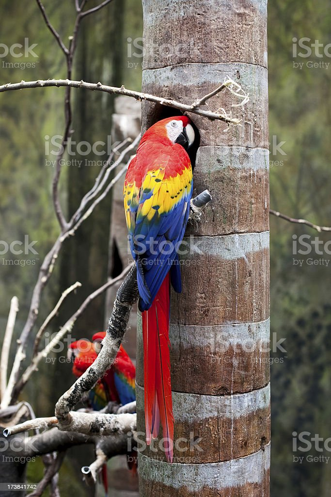 Red McCaw Parrot stock photo