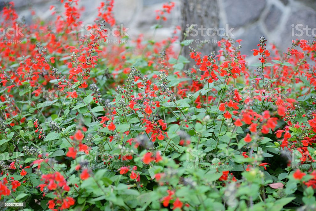 Red Mexican sage stock photo