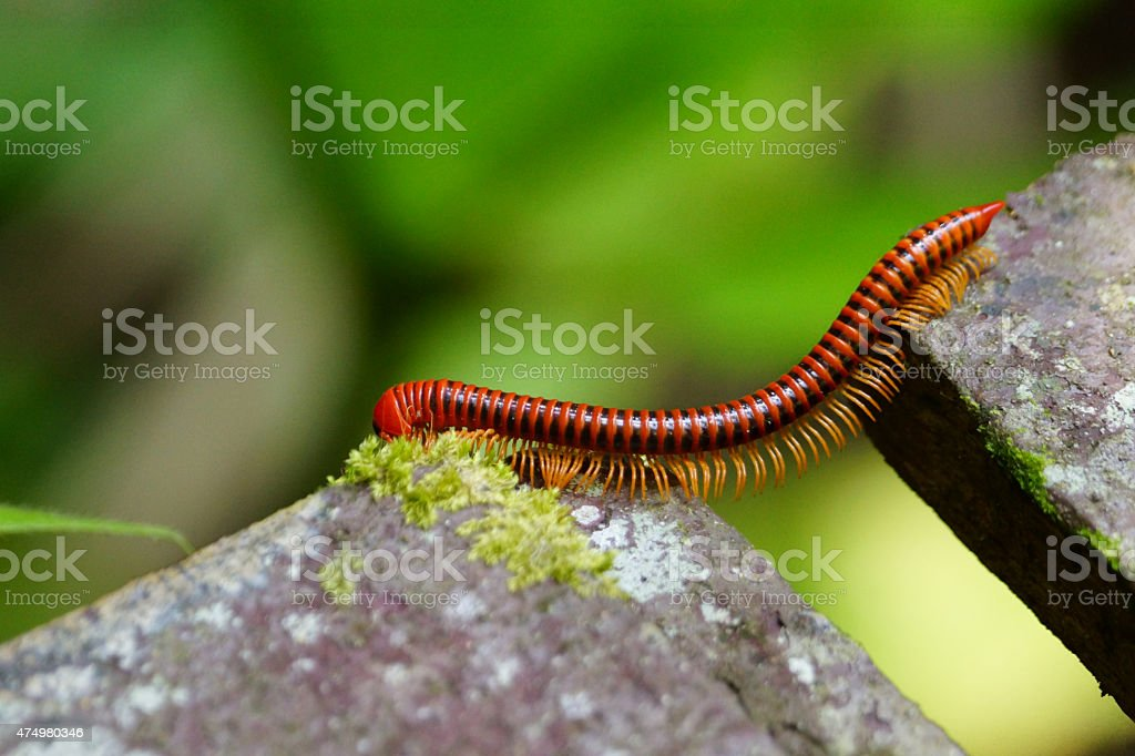 Red millipede stock photo