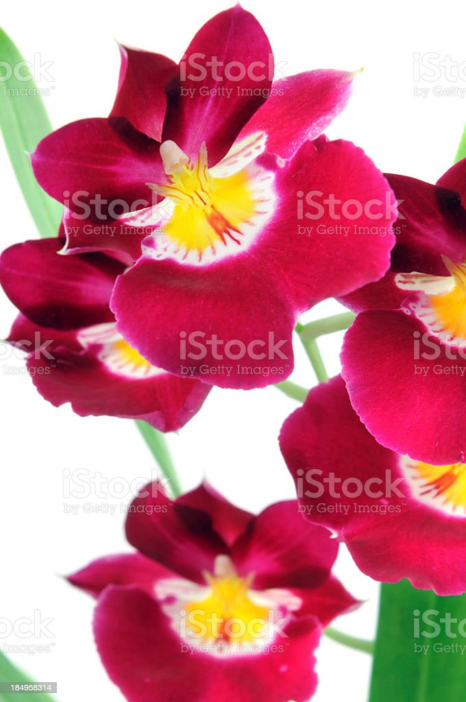 red Miltoniopsis pansy orchid on isolated background stock photo