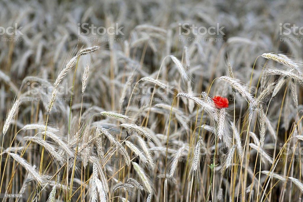 red mohn in golden field stock photo