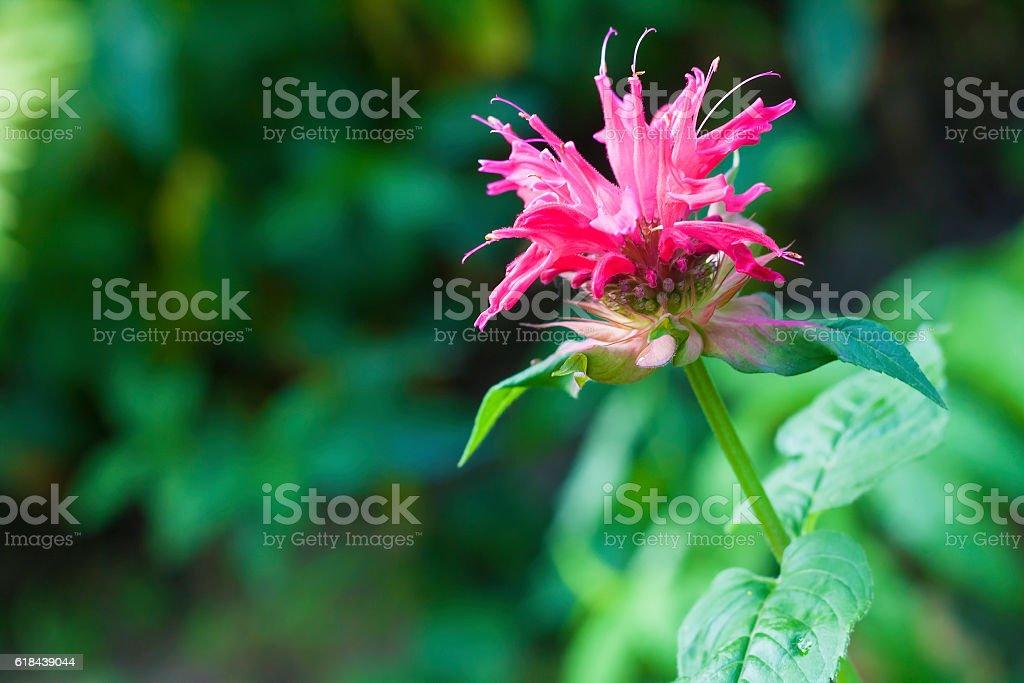 Red Monarda (Monarda didyma) flower closeup stock photo