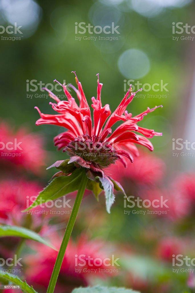 Red Monarda (bee balm) stock photo