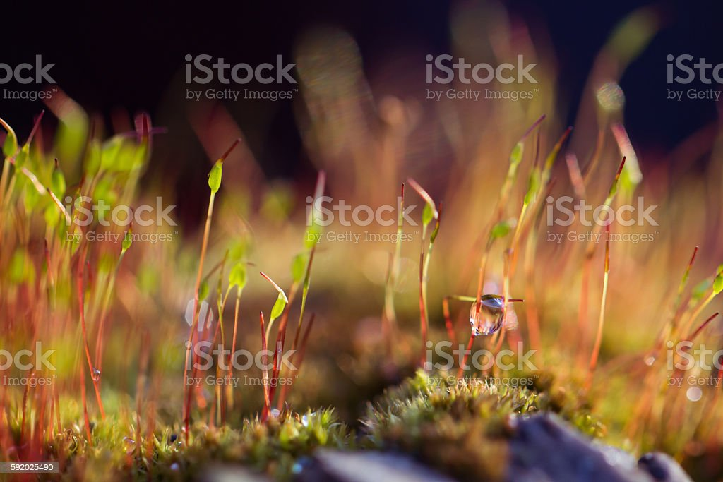 Red moss Tortula muralis closeup stock photo