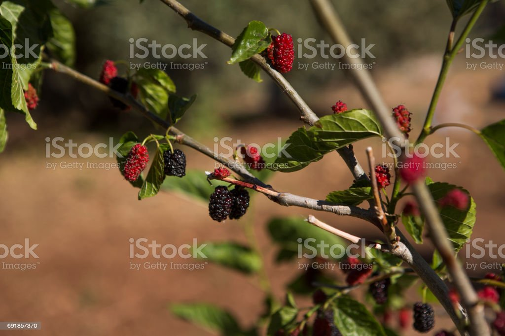 red mulbery fruit tree at fethiye mugla turkey stock photo