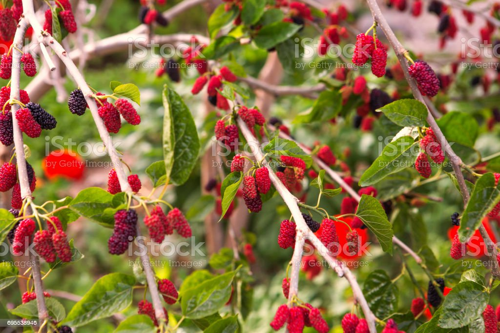 red mulbery fruit tree near fethiye mugla turkey stock photo