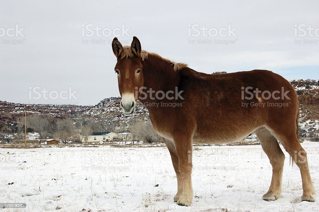 Red mule in the snow royalty-free stock photo