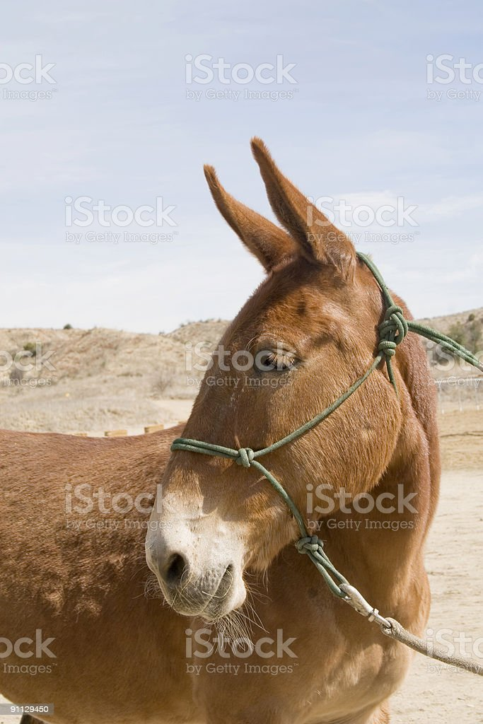 Red Mule royalty-free stock photo