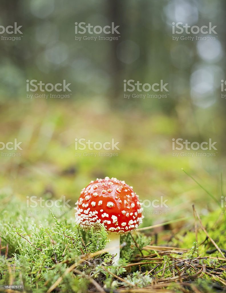 red mushroom royalty-free stock photo