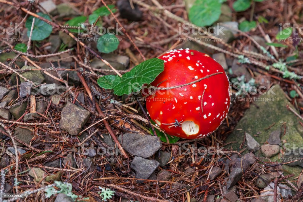 Red mushroom (amanita, fly-agaric) with white specks in the autumn forest. stock photo