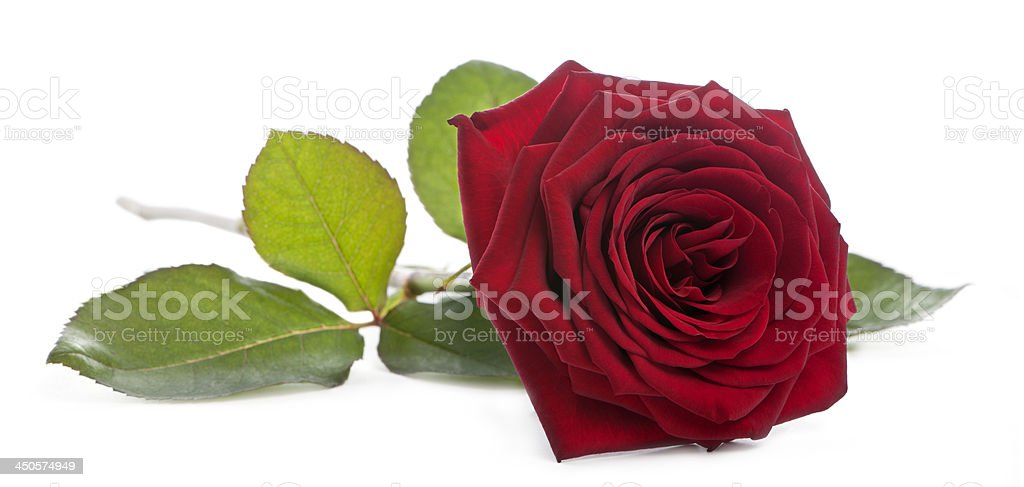 Red Naomi Rose in front of white background stock photo