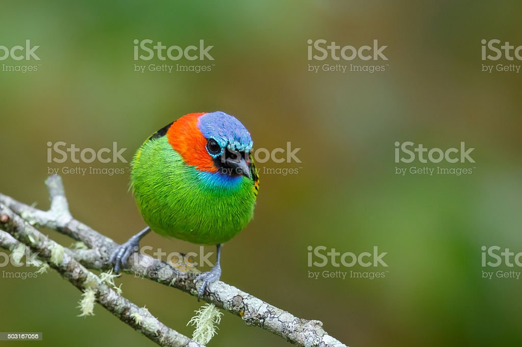 Red necked Tanager perched against natural background stock photo