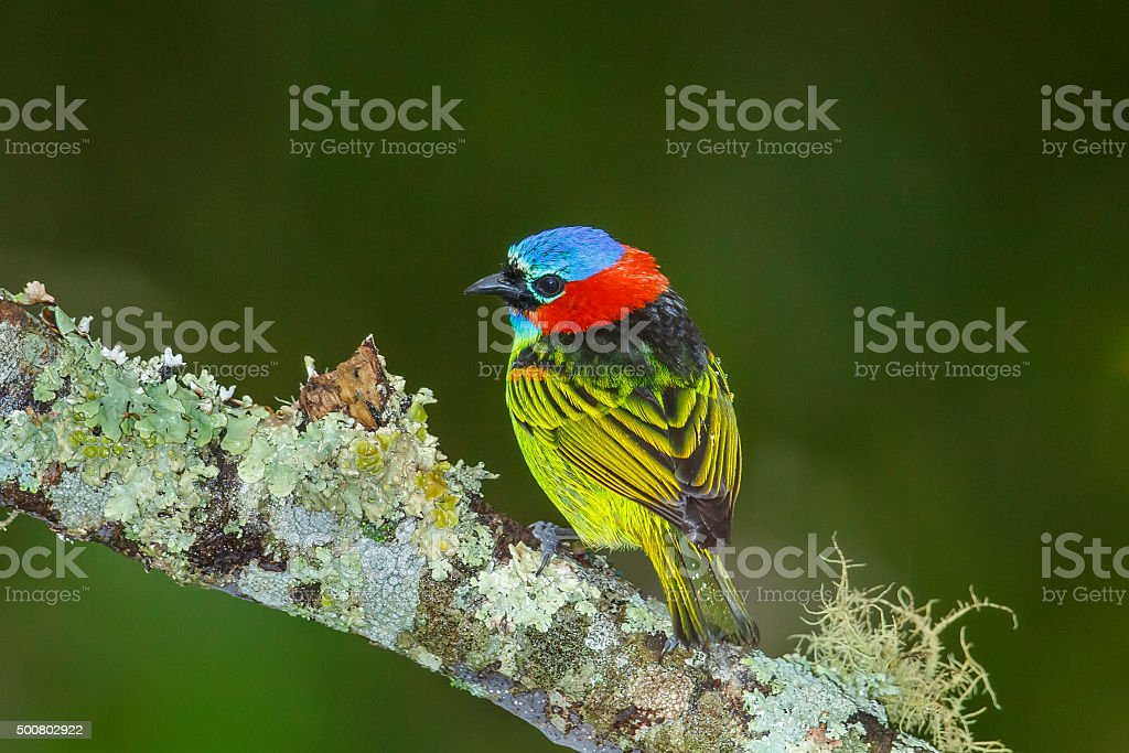 Red necked Tanager perched on lichen covered branch stock photo