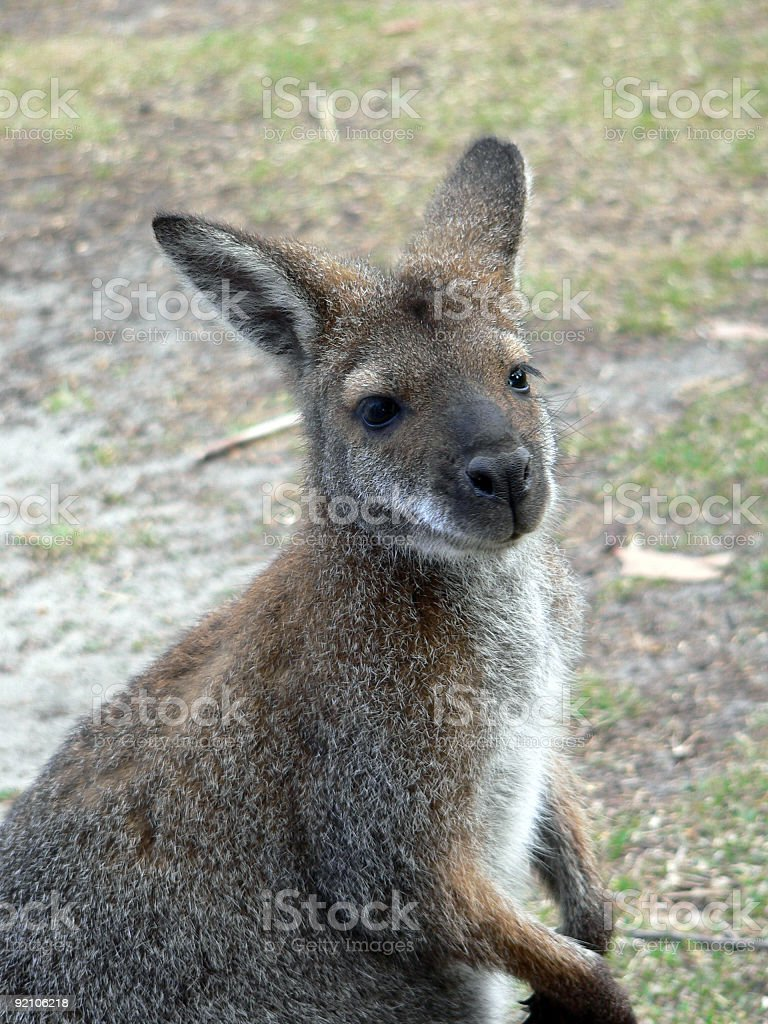 red necked wallaby stock photo
