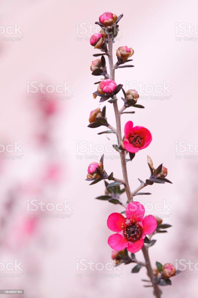 Red New Zealand Tea tree macro royalty-free stock photo