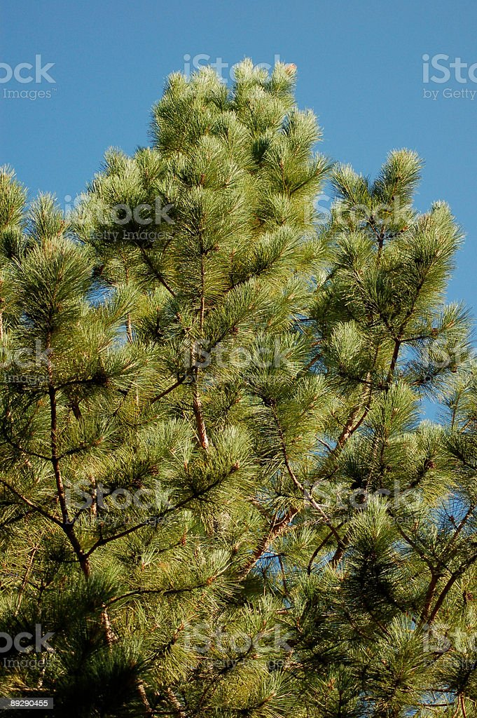 Red 'Norway' Pine royalty-free stock photo