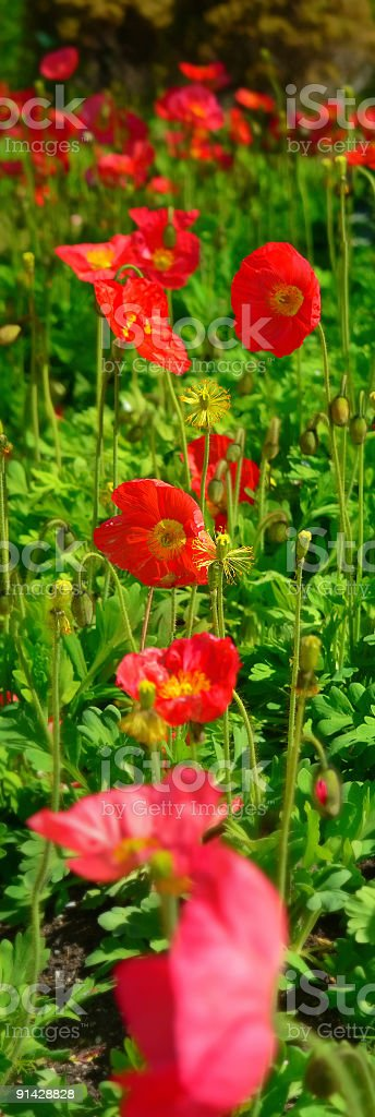 Red not opium Poppies on Green Foliage in Garden stock photo