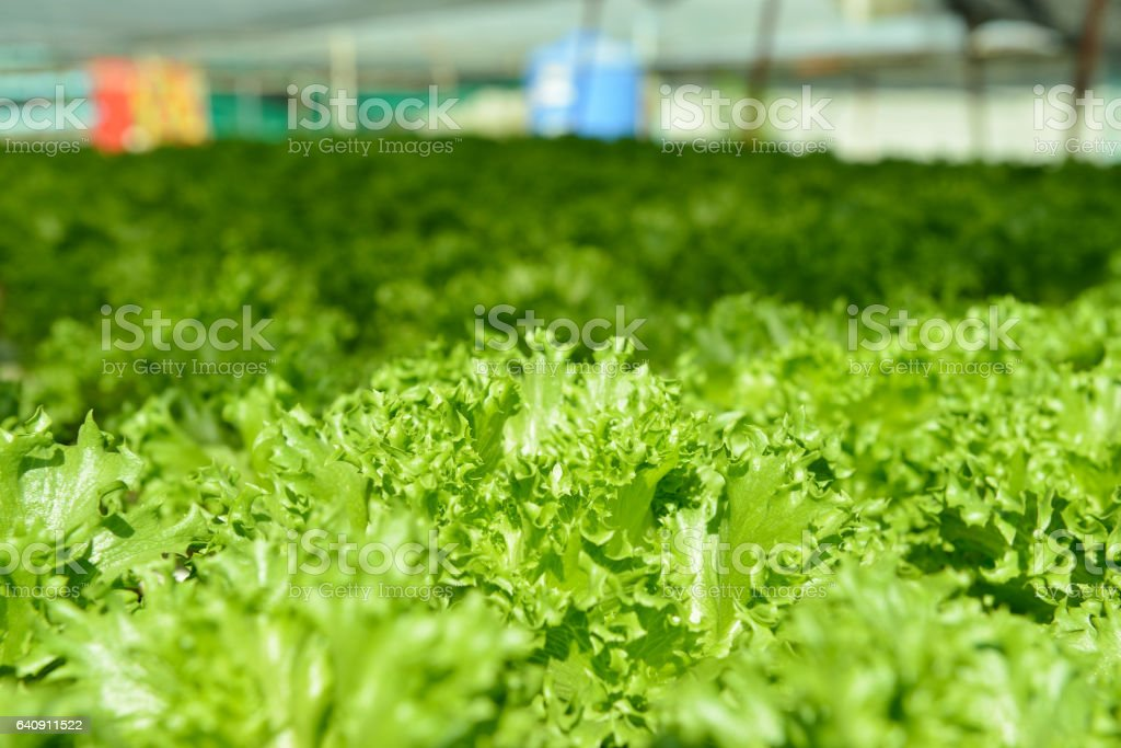 Red oak, green oak, frillice iceberg , cultivation hydroponic green vegetable in farm plant market stock photo