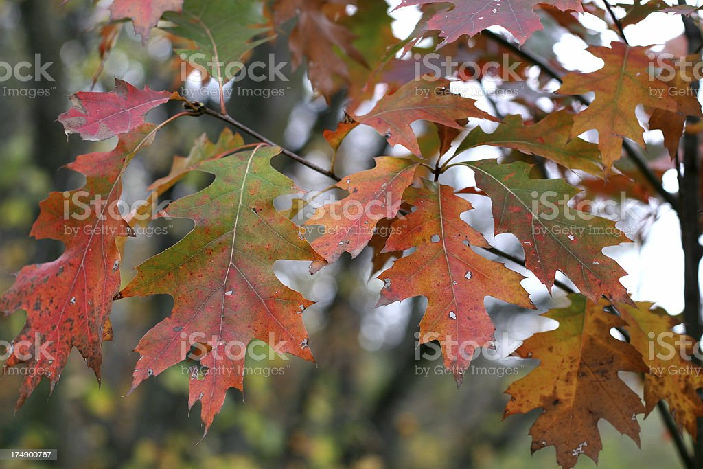 Red Oak in Autumn royalty-free stock photo
