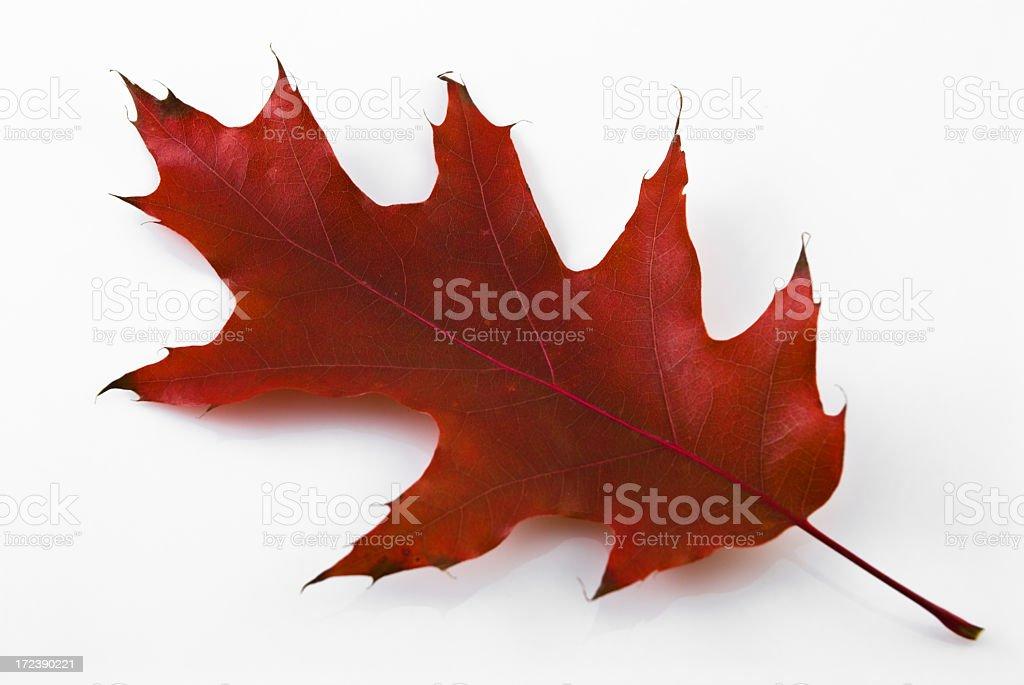 Red oak leaf royalty-free stock photo