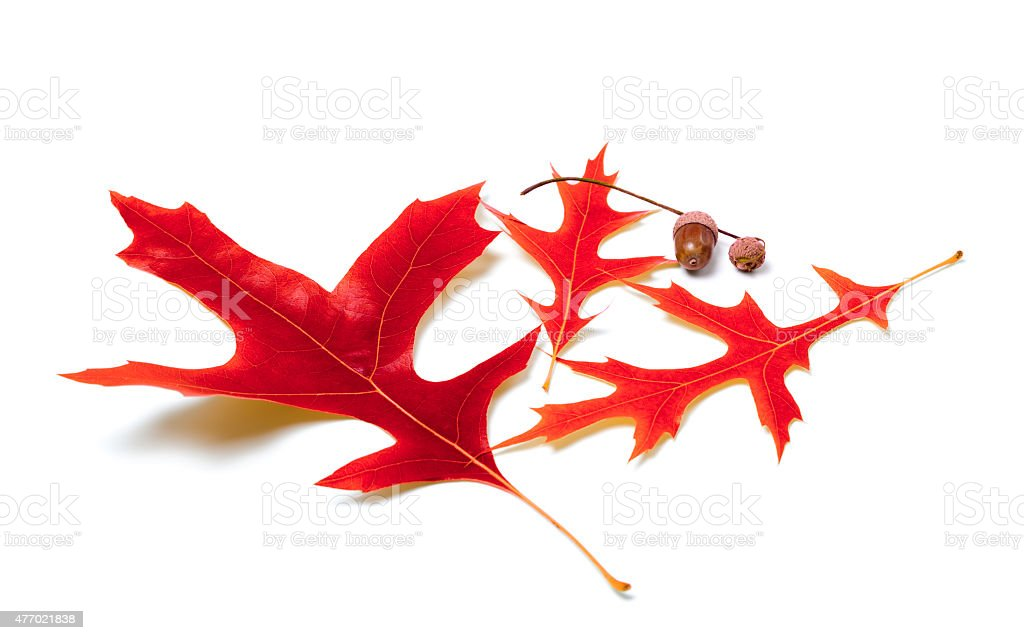 Red oak leaves and acorns stock photo