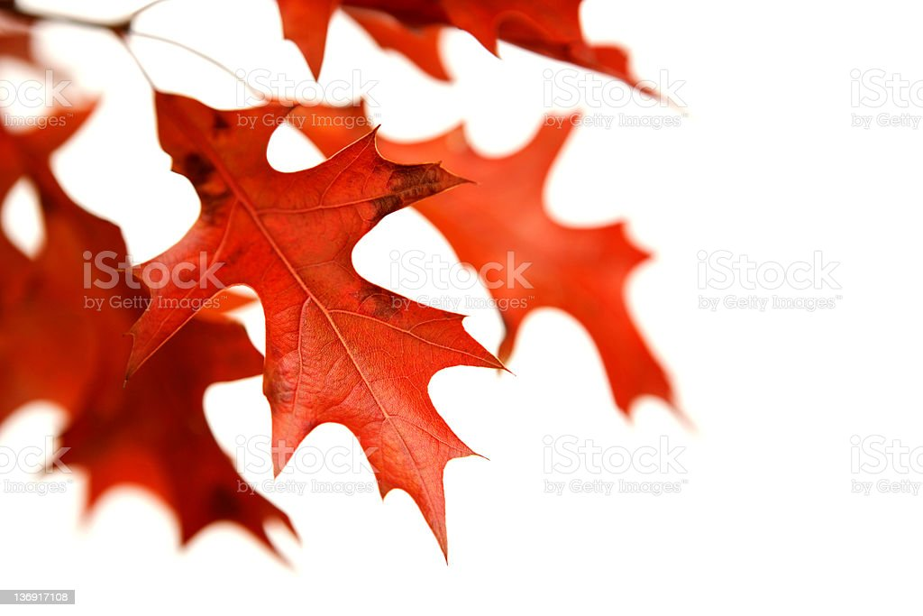 XXL red oak leaves close-up royalty-free stock photo